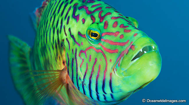 Great Barrie Reef wrasse