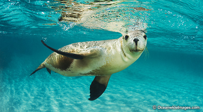 Australian Sea Lion photos