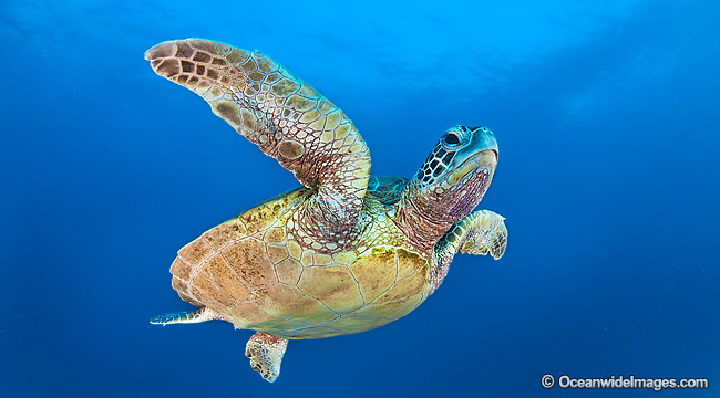 Green Turtle Photos