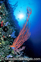 Whip Coral and Soft Corals Photo - Gary Bell