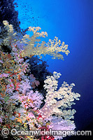 Great Barrier Reef Soft Corals Photo - Gary Bell