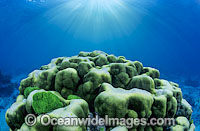 Porites Coral Great Barrier Reef Photo - Gary Bell