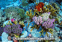 Acropora Coral and Fire Coral photo