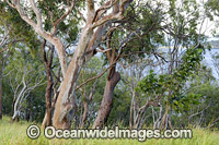 Eucalypt forest Hayman Island Photo - Gary Bell