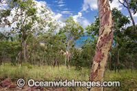 Eucalypt forest Whitsunday Islands Photo - Gary Bell