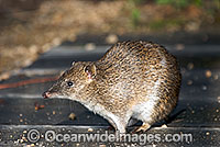 Southern Brown Bandicoot Isoodon obesulus photo