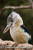 Blue-winged Kookaburra Photo - Gary Bell