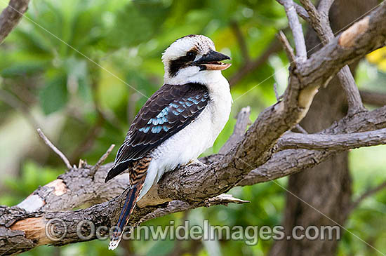 Laughing Kookaburra (Dacelo novaeguineae). Also known as Kingfisher. Found thoughout open forests and woodlands of Eastern Australia and Southern Western Australia. Photo - Gary Bell
