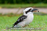Laughing Kookaburra Dacelo novaeguineae Photo - Gary Bell
