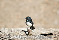 Willie Wagtail Rhipidura leucophrys Photo - Gary Bell