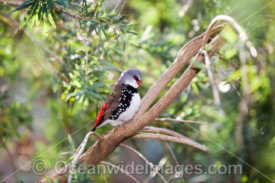 Finches In Florida. Diamond Firetail Finch