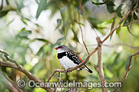 Diamond Firetail Finch Stagonopleura guttata male image
