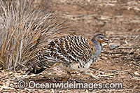 Malleefowl Leipoa ocellata Photo - Gary Bell