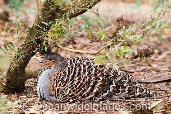 Malleefowl (Leipoa ocellata). Found in dry inland scrub and mallee vegetation throughout Southern Australia, Australia, Endangered species listed on the IUCN Red List of Threatened Species. Photo - Gary Bell