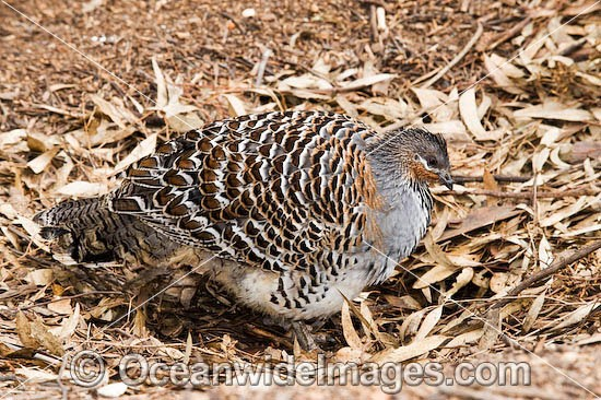 Malleefowl (Leipoa ocellata). Found in dry inland scrub and mallee vegetation throughout Southern Australia, Australia, Endangered species listed on the IUCN Red List of Threatend Species. Photo - Gary Bell