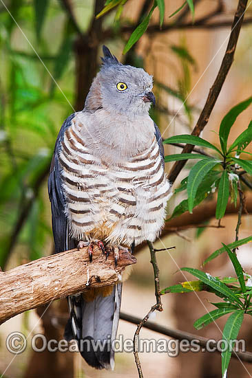 Australian Bird Of Prey Stock Photos Pictures And Images