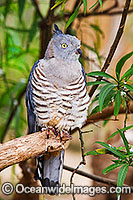 Pacific Baza Aviceda subcristata photo