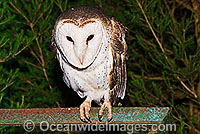 Barn Owl Tyto alba Photo - Gary Bell