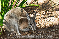Bridled Nailtail Wallaby Onychogalea fraenata Photo - Gary Bell