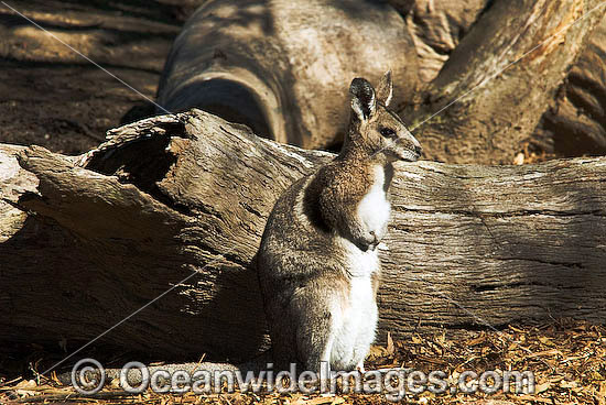 Bridled Nailtail Wallaby (Onychogalea fraenata). A species that once ranged widely, but now only found in open eucalypt and brigalow forests in a small area of central Queensland, Australia. Clasified Endangered on the IUCN Red List. Photo - Gary Bell