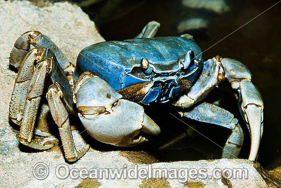 Christmas Island Blue Crab (Cardisoma hirtipes). A terrestrial crab Endemic to Christmas Island, Australia Photo - Gary Bell