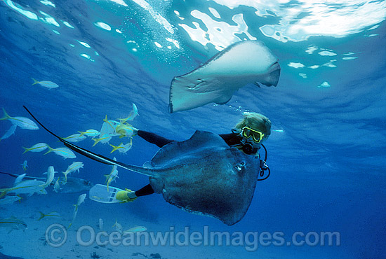 Scuba Diver hand feeding Southern Stingray (Dasyatis americana). 'Stingray City', Grand Cayman Island, British West Indies (Caribbean). Photo - Gary Bell