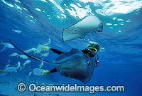 Scuba Diver feeding Southern Stingray photo