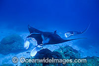 Giant Oceanic Manta Rays photo