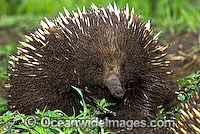 Short-beaked Echidna Photo - Gary Bell