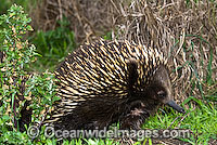 Short-beaked Echidna Tachyglossus aculaetus image