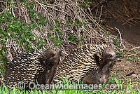Short-beaked Echidnas courting Photo - Gary Bell