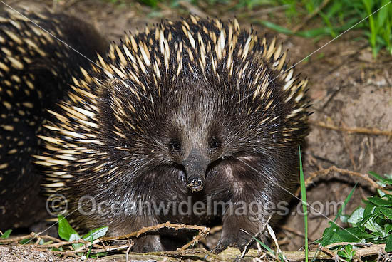 Short-beaked Echidna (Tachyglossus aculaetus). Echidnas are egg laying mammals found throughout Australia, Australia Photo - Gary Bell