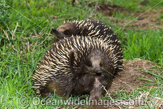 Short-beaked Echidnas (Tachyglossus aculaetus) - courting male and female. Echidnas are egg laying mammals found throughout Australia, Australia Photo - Gary Bell