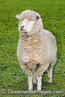 Merino Sheep Victoria Australia Photo - Gary Bell