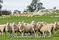 Merino sheep grazing Victoria Australia Photo - Gary Bell