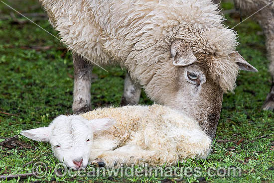 Dorset Ewe (Ovis Aries) with baby lamb alone in a field. Country Victoria, Australia Photo - Gary Bell