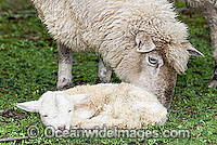 Dorset Ewe with baby lamb Victoria Photo - Gary Bell