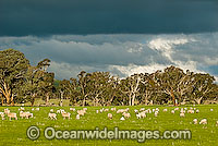 Flock of Merino sheep grazing Australia Photo - Gary Bell