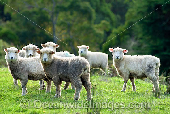 Flock of Dorset Sheep (Ovis Aries) grazing in a field. Country Victoria, Australia Photo - Gary Bell