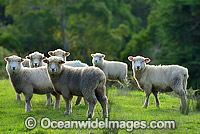 Merino sheep grazing Australia Photo - Gary Bell