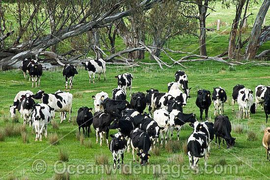 holstein dairy cow. Holstein Dairy Cows (Box