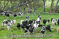 Holstein Dairy Cattle Victoria Photo - Gary Bell
