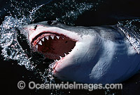 Great White Shark jaws Photo - Gary Bell