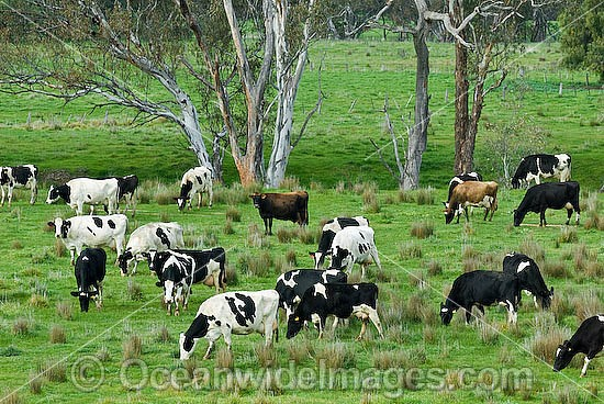 Holstein Dairy Cows (Box taurus) grazing on pasture. Also known as Holstein-Friesian Cows. Country Victoria, Australia Photo - Gary Bell