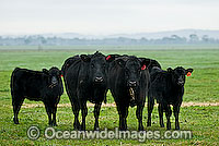 Black Angus Cattle calves grazing Photo - Gary Bell