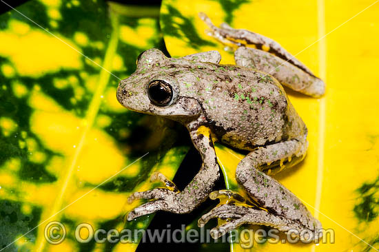 Peron's Tree Frog (Litoria peronii). Found in a wide variety of habitats from dry inland areas to coast of south-eastern Queensland, New South Wales and Victoria, Australia Photo - Gary Bell