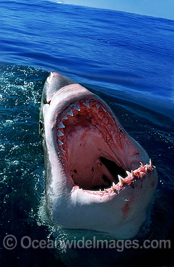 Great White Shark with open jaws on surface photo
