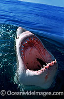 Great White Shark with open jaws on surface Photo - Gary Bell