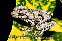 Peron's Tree Frog Photo - Gary Bell
