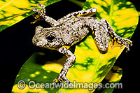 Peron's Tree Frog Litoria peronii Photo - Gary Bell